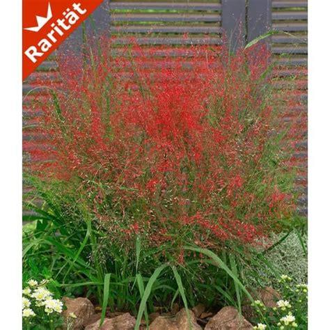 rotes liebesgras  pflanzen baldur garten gmbh garten liebesgras ziergraeser und garten