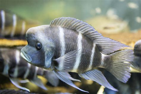 types  frontosa fish  stunning pictures