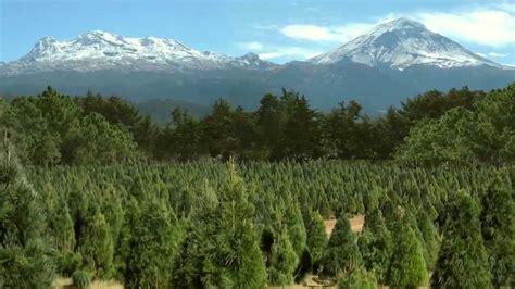 precio de los arboles cortados de navidad bosque de los 193 rboles de navidad