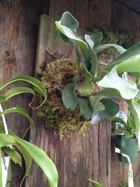 how to plant a staghorn fern in a hanging basket how to mount a staghorn fern