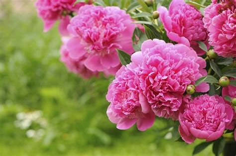 do peonies like sun or shade 21 things to plant in the fall garden for food beauty