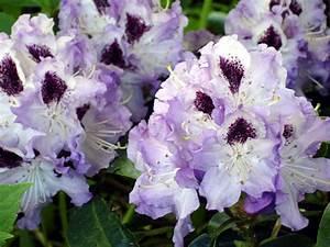 Wann Blüht Der Rhododendron : die beste pflanzzeit f r rhododendron ~ Eleganceandgraceweddings.com Haus und Dekorationen