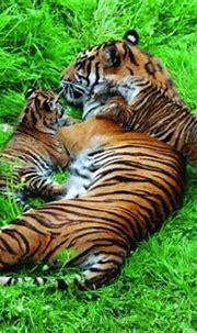 Endangered tiger cubs born at Flamingo Land Resort, Yorkshire
