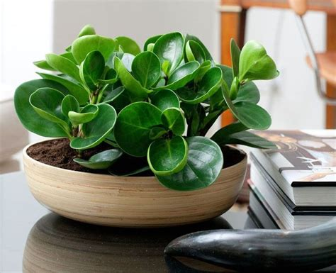 Best 25+ Rubber Plant Ideas On Pinterest
