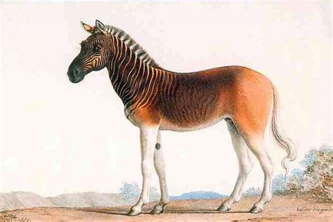 quagga extinct horse breeds horses recently