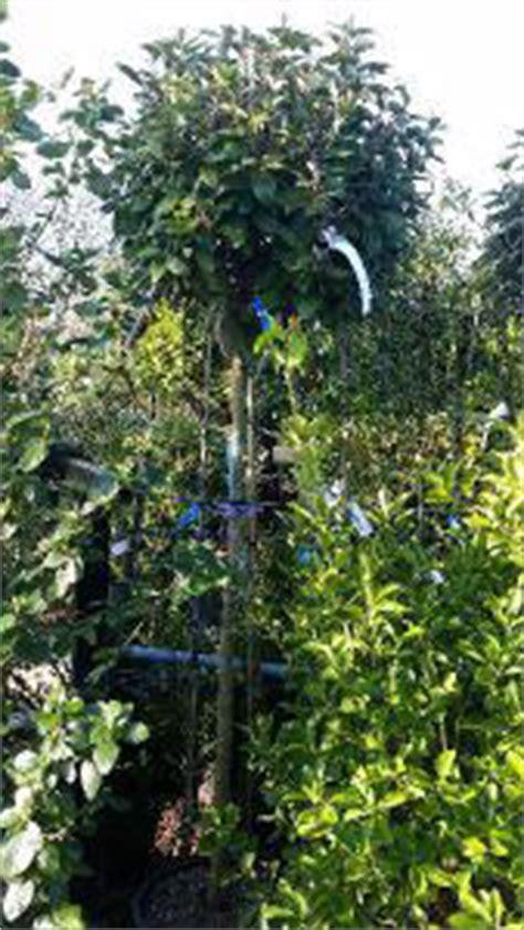 full standard eleagnus ebbingei trees oleaster trees