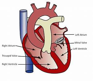 Mitral Valve Replacement Diagram  U0026 Description
