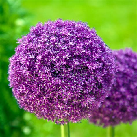 buy ornamental allium giganteum delivery by