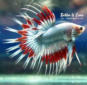 White & red crowntail betta | Crowntail Bettas | Pinterest ...