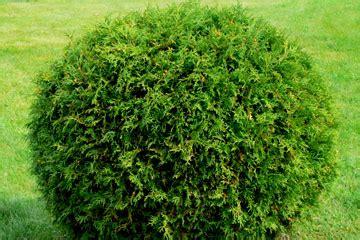 shrub image shrub light howstuffworks