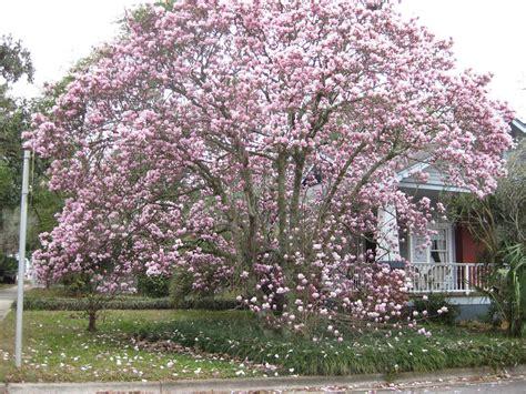 japanese magnolia tree facts japanese magnolia tree gallery