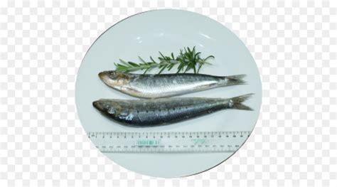 yellowtail pasifik ikan ikan berminyak gambar png