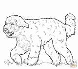 Coloring Dog Pages Portuguese Water Printable Chihuahua Cockapoo Dogs Miniature Pinscher Chow Adult Pomeranian Supercoloring Sharpei Colouring Drawing Puppy Sheets sketch template