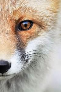 fox wallpaper | Tumblr