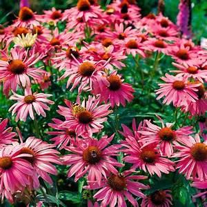 Sonnenhut Pflanze Kaufen : sonnenhut magnus xl online kaufen bei g rtner p tschke ~ Buech-reservation.com Haus und Dekorationen