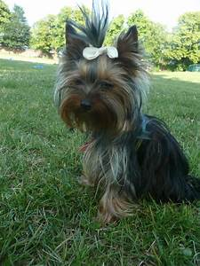 Yorkshire Terrier Teacup Size   www.imgkid.com - The Image ...