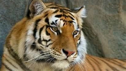 Tiger Face Eyes Mustache Wallpapers Tigers Cool