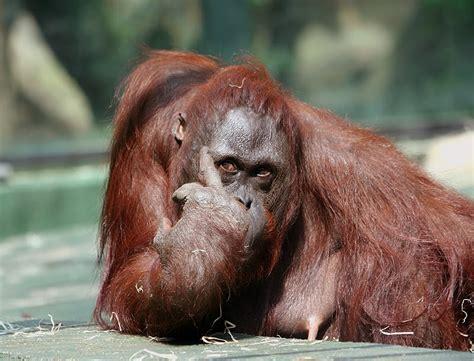 gambar foto hewan gambar monyet lucu gokil
