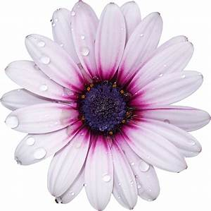 FreeToEdit png flower with a transparent background...