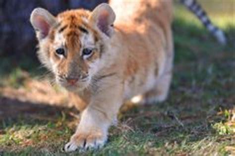 Golden Tiger Cub Animals Pinterest