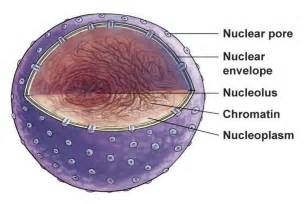 Picture of a Cell Nucleus and Nucleolus of a Inside