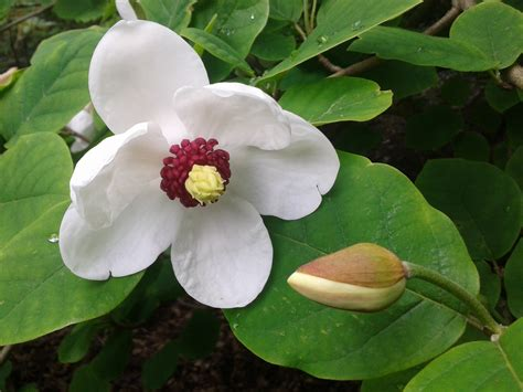 Wordpress Login magnolia sieboldii ssp sinensis botanics stories 2560 x 1920 · jpeg