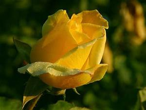 Single yellow Rose. | Roses | Pinterest