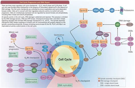 Cell Cycle  Tocris Bioscience