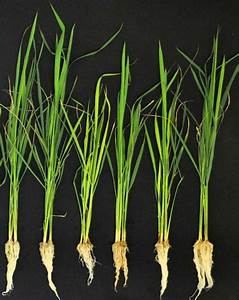 Going Inside The Rice Microbiome