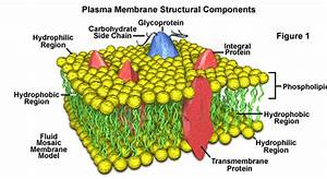 Imagequiz  Cell Membrane Labeling