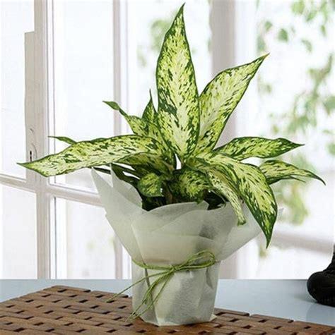 tanaman hias aglaonema jenis perkembangbiakan