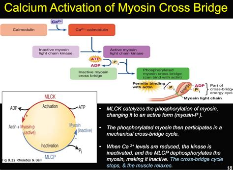 Myosin Light Chain Kinase by Myosin Light Chain Kinase C Decoratingspecial
