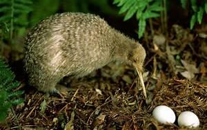 Tailler Les Kiwis : oiseau de kiwi ~ Farleysfitness.com Idées de Décoration