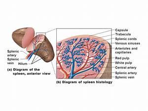 Lymphatic System Ch 22a