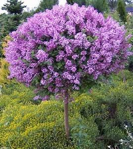 Zwergflieder Auf Stamm : patio plant trends what s hot brighter blooms nursery blog ~ Lizthompson.info Haus und Dekorationen