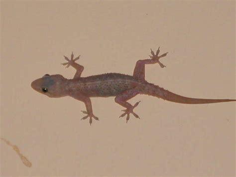 house gecko house gecko india travel forum indiamike com