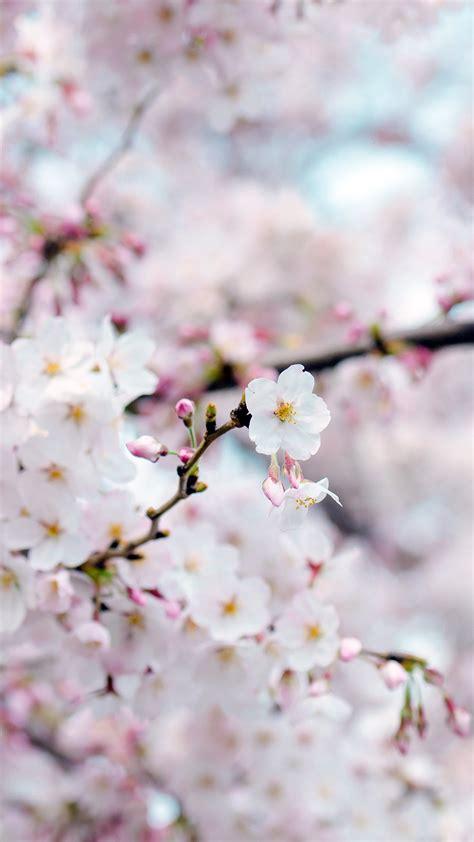 nx cherry blossom flower spring tree bokeh nature wallpaper