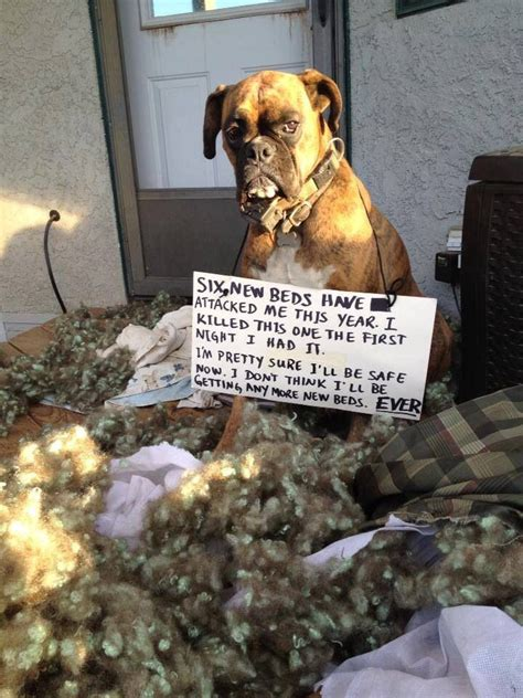 funny boxer ideas  pinterest funny boxer dogs