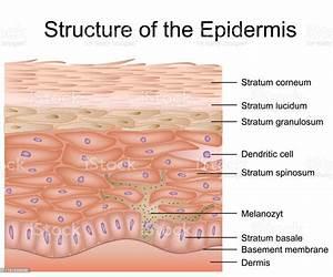 Structure Of The Epidermis Medical Vector Illustration Dermis Anatomy Stock Illustration