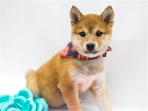 Sometimes, you will also hear the shiba dog being referred to as shiba ken. Shiba Inu-DOG-Female-Red Sesame-2675785-Petland Wichita, KS
