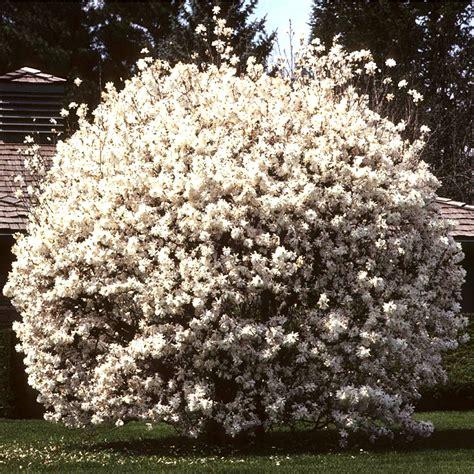 magnolia stellata starry magnolia deciduous shrub