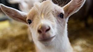 Minnesota Zoo Goat Kids At The Farm