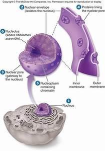 The Origin Of The Nucleus