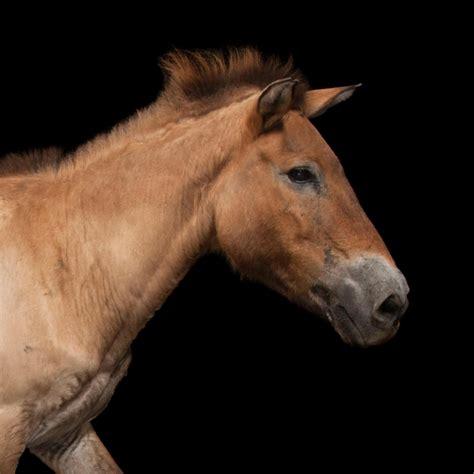 horse animals national geographic przewalski