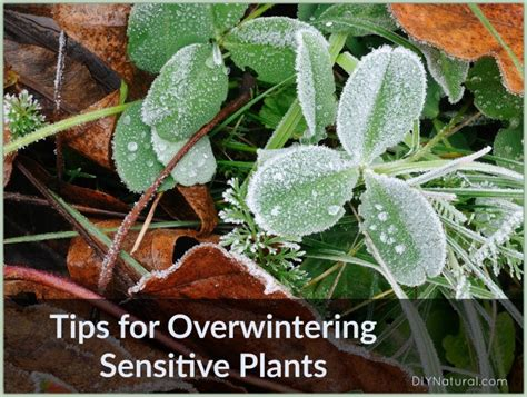 plants that will survive winter easy ways to overwinter sensitive outdoor plants diy natural