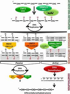 Frontiers DNA Methylation And Chromatin Regulation