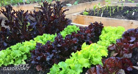 red lettuce varieties  comparison
