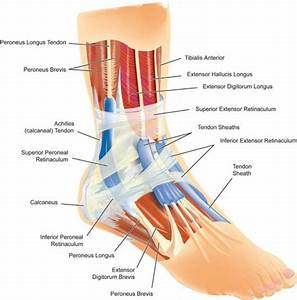 Ankle Muscle Anatomy