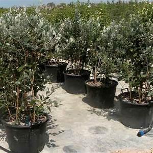 Planter Un Olivier En Pleine Terre : j ai une plante qui devient jaune que faire h rault de ~ Farleysfitness.com Idées de Décoration