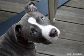 American Pitbull Terrier Blue nose Puppy Dog   For the love of Pittie      Bull Terrier Blue Nose Pitbull Mix